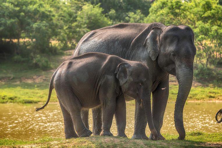 Wetenschappers aan de universiteit van Harvard willen binnen twee jaar een embryo van een mammoet inplanten in de baarmoeder van een Aziatische olifant, het dier dat het dichtst aanleunt bij het oerdier.