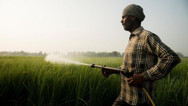 Een Indiase boer spuit pesticide op een veld met basmatirijst. Beeld Adriane Ohanesian