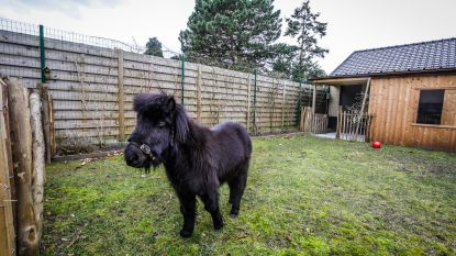 """VIDEO. Eerste blindengeleidepaardje van Europa krijgt eigen huisje én Instagramaccount: """"Dinky voelt zich al helemaal thuis"""""""