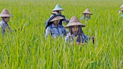 Rijst dreigt minder voedzaam te worden door toename van CO2. Maar is dat een probleem?