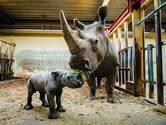 Nieuwsoverzicht   778 nieuwe coronabesmettingen in Brabant - Babyneushoorn geboren in Beekse Bergen