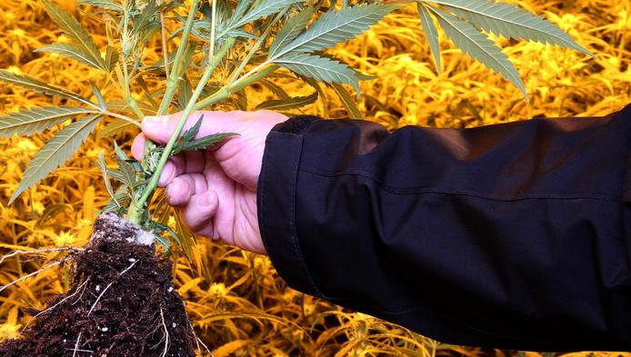 In woningen worden soms honderden wietplanten aangetroffen.