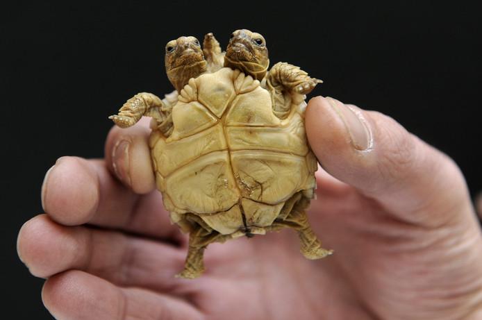 Schildpadjes Magda (L) en Lenka (R) werden in 2011 geboren in Slowakije.