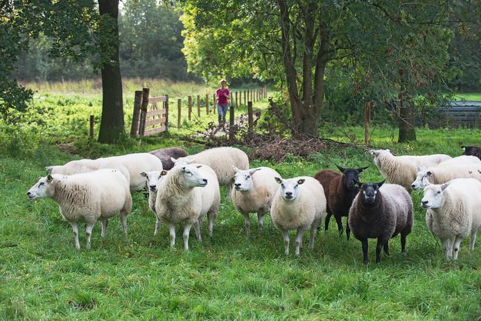 De schapen in wijkpark De Strepen.