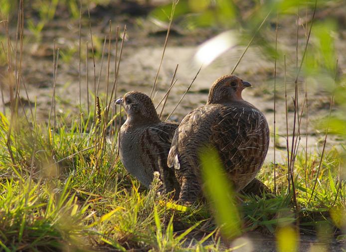 Vogels, zoals deze patrijzen, profiteren van agrarisch natuurbeheer.