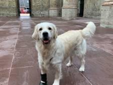 Verkiezing mooiste hond: Golden retriever Toos uit Kaatsheuvel is een behulpzaam buitenbeentje