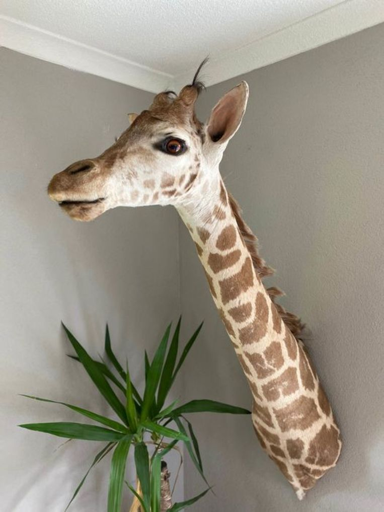 De kop van een giraf. Beeld Catawiki