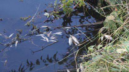 Massale vissterfte in Zwalmbeek