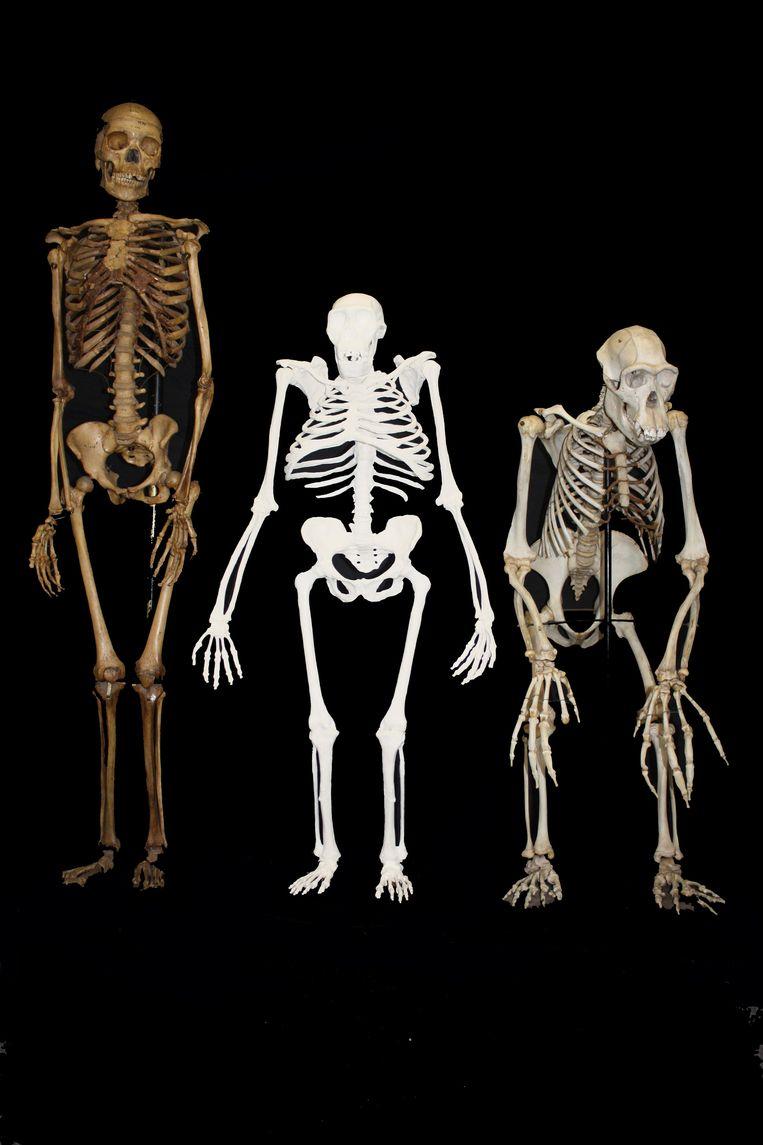 Een reconstructie van Sediba (midden). Links een skelet van de moderne mens, rechts van een chimpansee. Beeld AP