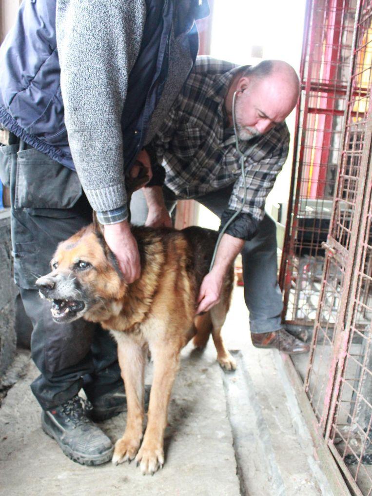 Dierenarts Theo Borgers controleert de honden in de huisdierenopvang in Zonnebeke.