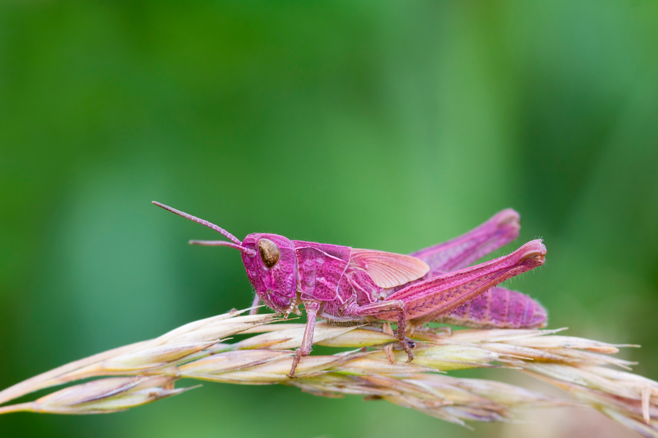 Pink Grasshopper perched on a grass stem closeup roze sprinkhaan