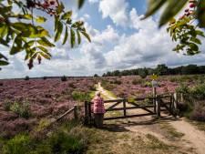 Bloeiende heide van de Posbank: dé attractie van Nederland