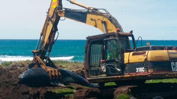 Een walvis wordt begraven op Chatham Island.