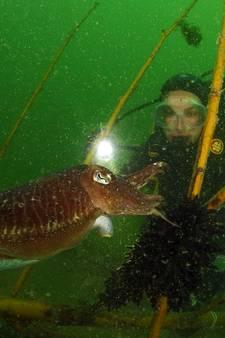 Zeeuwse troetelinktvis laat zich amper meer zien