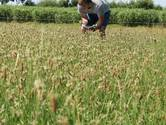 Smalle weegbree: de grote hoop in droogste zomers