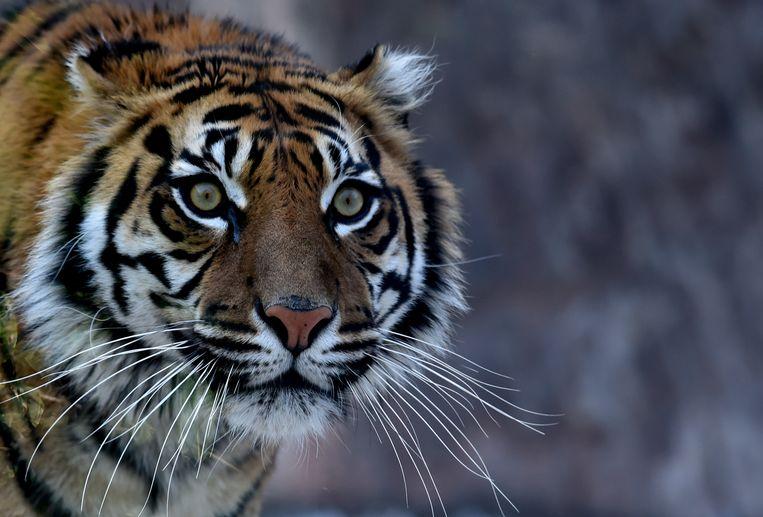 Een Sumatraanse tijger, een van de bedreigde diersoorten. Beeld ANP