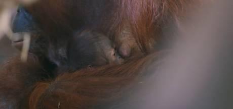 Té schattig: Orang-oetangbaby geboren in de Apenheul