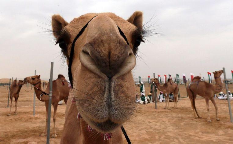Kamelen werden waarschijnlijk voor het eerst gedomesticeerd op het Arabische schiereiland in het eerste millennium voor Christus. Beeld afp