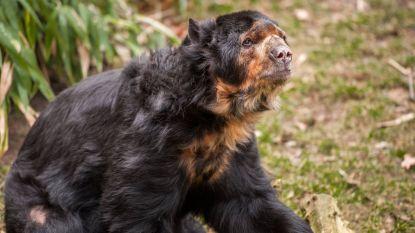 Brilbeer Gladstone overleden in de Zoo