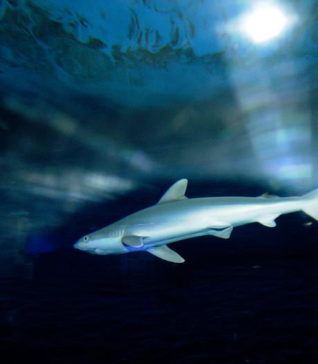 Haaien schransen vrolijk door achter de gesloten deuren van Blijdorp
