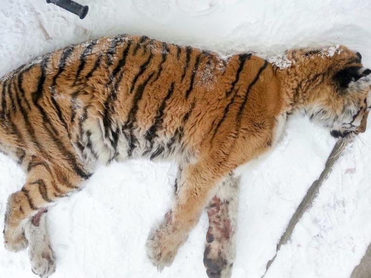 De tijgerin voor het huis in Solontsovy.