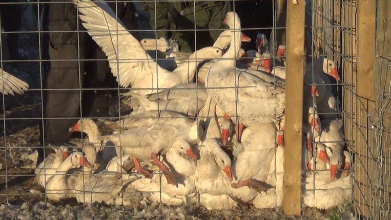 Ook in Noord-Amerika is een geval van dierenmishandeling in slachthuizen aan het licht gekomen.