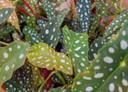 Stippen: Begonia maculata.