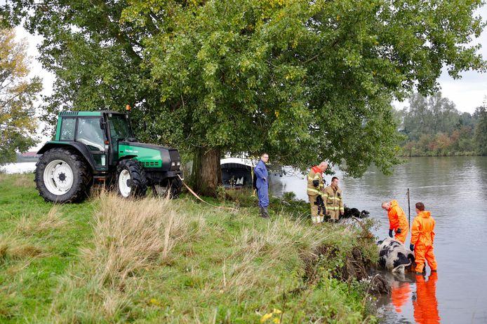 Een boer, omstanders, medewerkers van Rijkswaterstaat en brandweerlieden hebben een koe uit de Maas gered bij Sint Agatha.