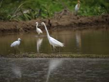 Oppassen op de Fochteloërveenweg: overstekende kraanvogeljongen