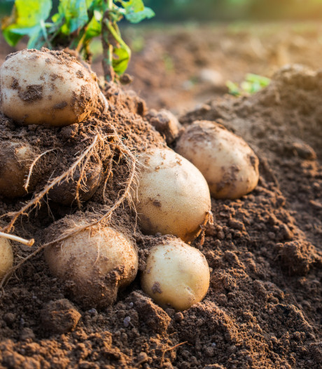 Boer Groenveld krijgt zijn aardappelen niet uit de grond