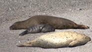 Zeehonden kampen met voedseltekort door klimaatopwarming