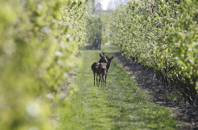 De twee reeën in de boomgaard van fruitteeltbedrijf VreeFruit
