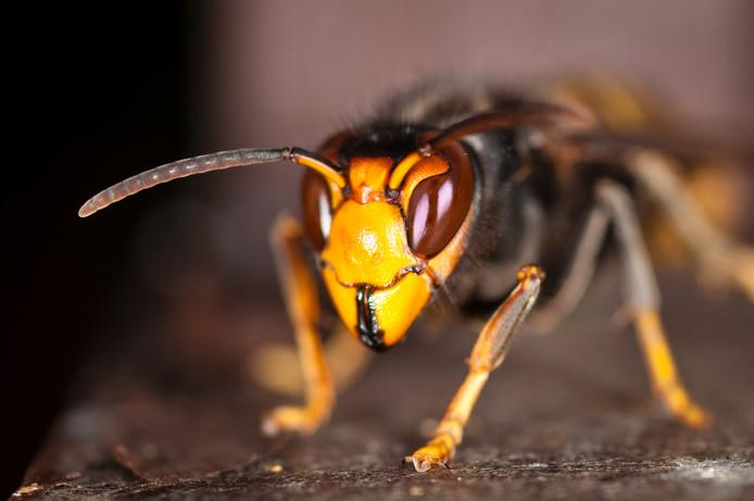 Het is 'een kwestie van tijd' voordat de Aziatische hoornaar in Nederland opduikt.