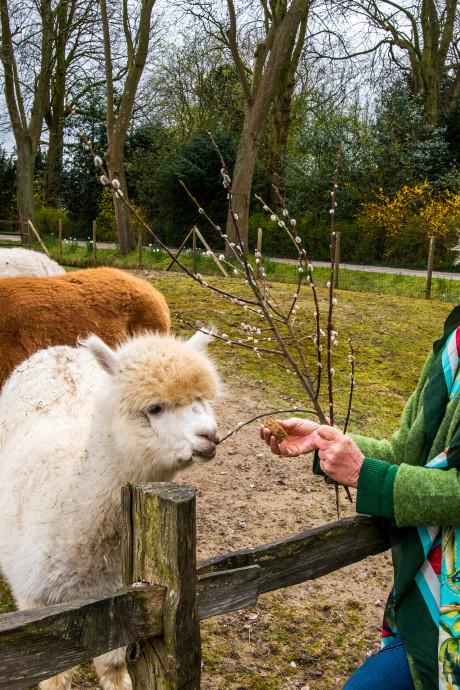 Plaswijckpark staat het water aan de lippen: 'Zelfs de alpaca kijkt verdrietig'
