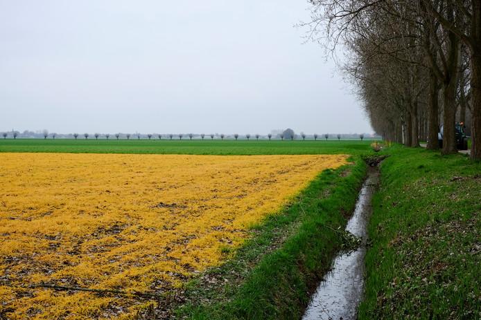 Gele akkers tussen Raamsdonk en Oosteind door gebruik van Roundup.
