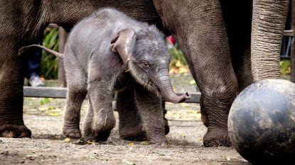 Olifantenkalfje in Nederland van dood gered dankzij olifanten van Pairi Daiza