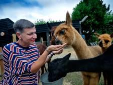 In Westmaas kun je lunchen tussen de alpaca's