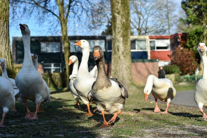 De toom ganzen die aan de Schrijnwerkershorst vertoefde is inmiddels verhuisd naar het Ganzenparadijs in Drenthe.