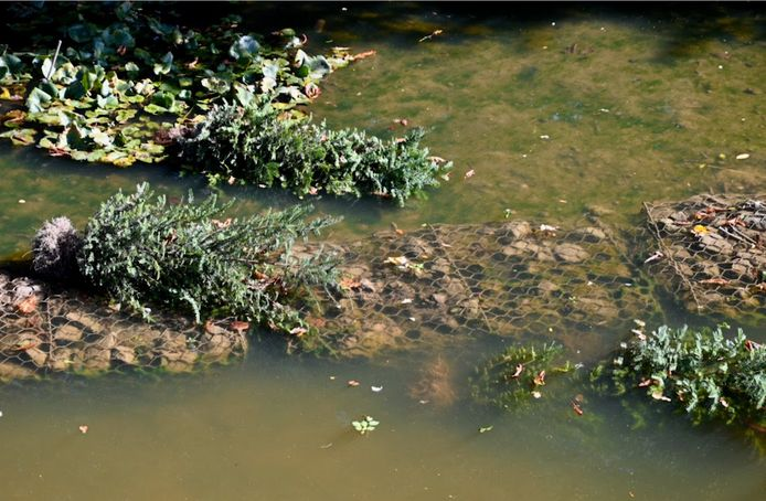 Vandalen hebben op de stadswallen van Zaltbommel enkele recent geplante heesters uit de grond getrokken en in de gracht gegooid.