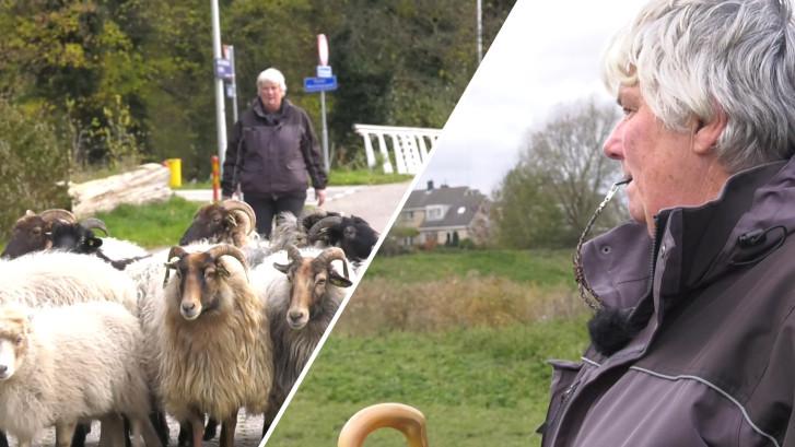 Tussen het spoor, de snelweg en Schiphol laat Sylvia haar 62 schapen grazen