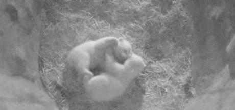 Jonge ijsbeertweeling speelt erop los in Ouwehands, blijkt uit nieuwe beelden