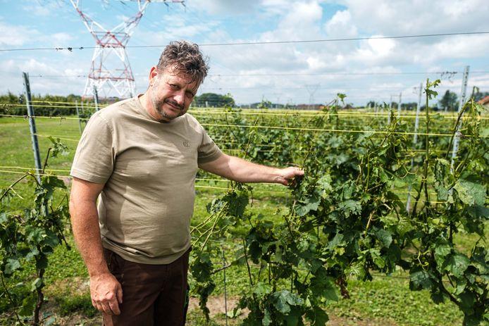 Stormschade in de wijngaard door hagel. Peter Melders.