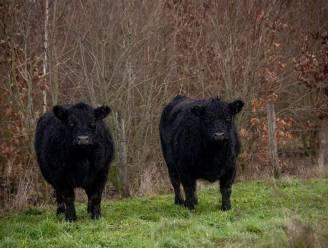 Twee nieuwe Gallowayrunderen maken opwachting in bos