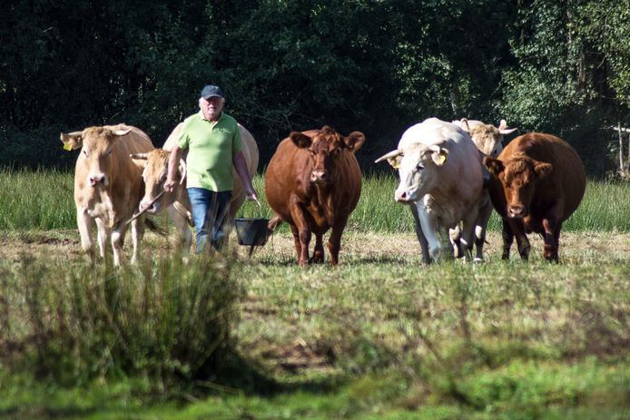 """Jan van den Broek van biologische boerderij 't Schop tussen enkele van zijn runderen. ,,Ik wil de slacht bespreekbaar maken."""""""