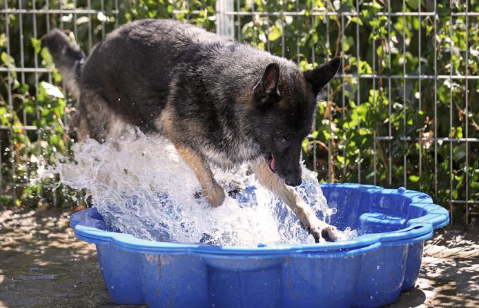 Asielhond Sultan springt graag in het zwembad, terwijl het varken op kinderboerderij De Trotse Pauw het liefst hele dagen in de modder ligt.