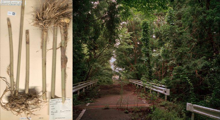 19de-eeuwse preparaten van Siebold (links) worden in Tree and Soil gecombineerd met landschapsfotografie van Fukushima, na de nucleaire ramp in 2011.  Beeld Tree and Soil