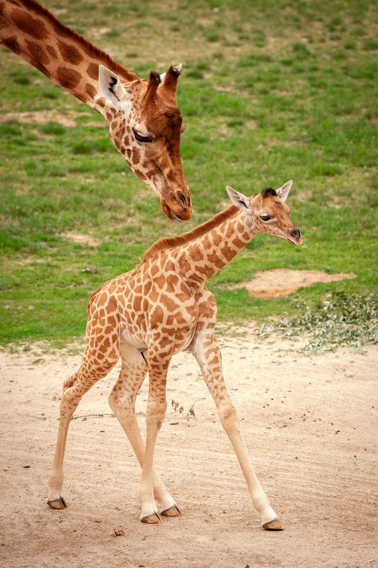 Nye Girafje geboren in Planckendael | Reizen | HLN PN-54