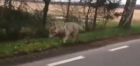 'Gekke wolf op zoek naar vrouwtje in gevangenschap'