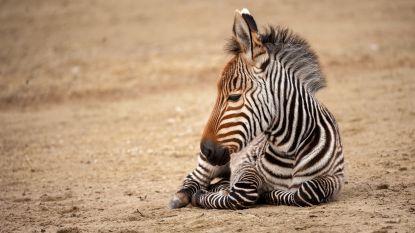 Bergzebraveulen mag voor het eerst buiten spelen in Antwerpse Zoo