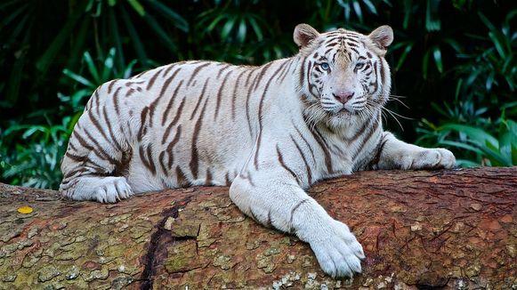 Slechts 1 op de 30 witte Bengaalse tijgers wordt geboren zoals deze tijger, zonder afwijkingen.